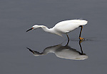 Snowy egret stalking fish,  FB-S156