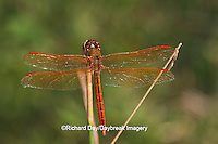 06612-00104 Golden-winged Skimmer dragonfly (Libellula auripennis) male perched near wetland, Marion Co., IL