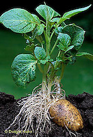 HS05-031a  Potato - young plant showing growth from eye in potato, asexual reproduction