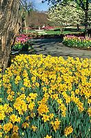 Thousands of yellow daffodils burst out in early spring at the Dallas Arboreturm in a spectacular display.