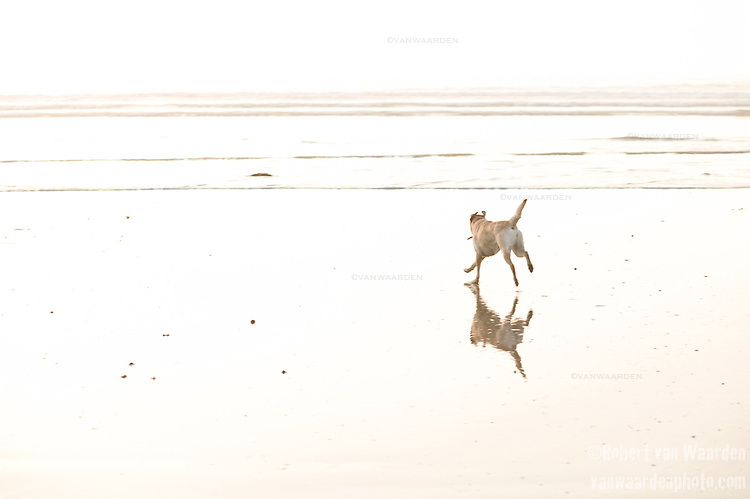 A dog runs towards the waves of the Atlantic Ocean at Ste Anne de la Palud in Brittany, France.
