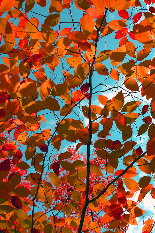Yellow red and green autumn leaves against blue sky