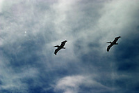 Pelicans framed against a Caribbean sky in Costa Maya, Mexico...Birds, flying, pelicans, blue skies, clouds, Silhouettes