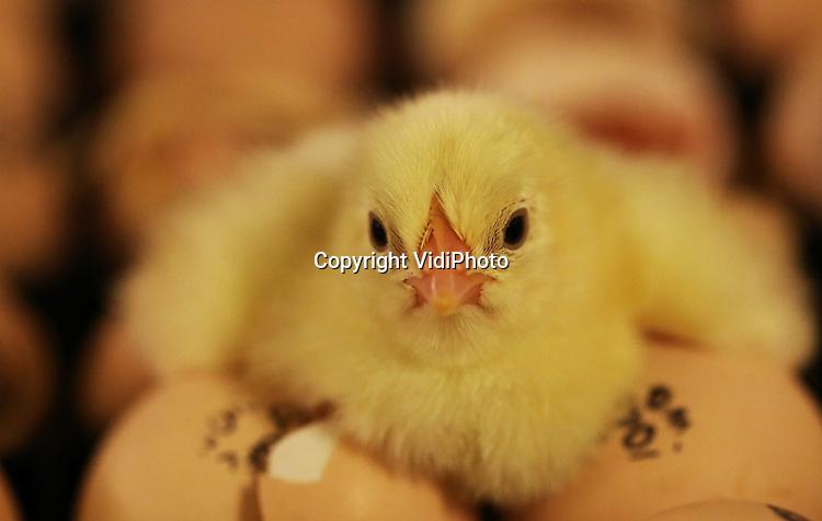 Foto: VidiPhoto..VESSEM - Kuikens kruipen uit hun eieren in de Patio, het nieuwe milieu- en diervriendelijke systeem van Vencomatic. De kuikens worden op de praktijkboerderij in Vessem zowel uitgebroed als opgefokt in een innovatief systeem waarin een optimale omgeving wordt gecreëerd voor het jonge kuiken. Hierdoor hebben ze geen antibiotica meer nodig, zijn ze sterker en economisch rendabeler voor de boer. Daarnaast, worden de vleeskuikens aan het eind van de opfokperiode op een stressvrije manier geladen. Het duurzame opfoksysteem wordt komende zomer, na een ontwikkelingsperiode van tien jaar, officieel opgestart en is tot stand gekomen in samenwerking met de WUR, de pluimveesector en milieu- en dierwelzijnsorganisaties.