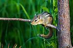 Alarmed eastern chipmunk