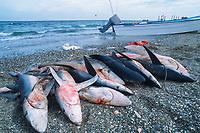 Shark finning camp, blue sharks, Prionace glauca, Magdalena Bay, Baja California, Mexico, Pacific Ocean