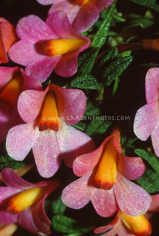 Dendrobium cuthbertsonii &lsquo;Pink Passion&rsquo; CCM/AOS. Orchid species. Best Dendrobium GYNOS Show 4/98<br /> Golden Gate Orchids. 88 pts, miniature colorful species is native to New Guinea and the Bismarck Archipelago