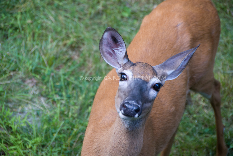 Deer White tailed looking at camera
