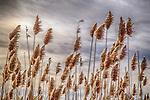 Phragmites grass in The Quabbin Reservoir at Gate 33.