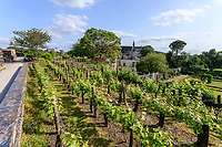 France, Maine-et-Loire (49), Angers, château d'Angers, les jardins, la vigne suspendue, cépage Chenin Blanc