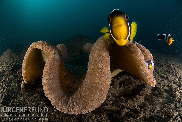 Saddleback Clownfish or Saddleback Anemonefish, Amphiprion polymnus - portrait