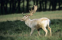 Damhirsch, Dam-Hirsch, Damwild, weißes Männchen, Hirsch, Dam-Wild, Cervus dama, Dama dama, fallow deer