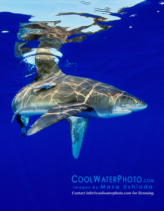 oceanic whitetip shark, Carcharhinus longimanus, with remora, Big Island, Hawaii, Pacific Ocean