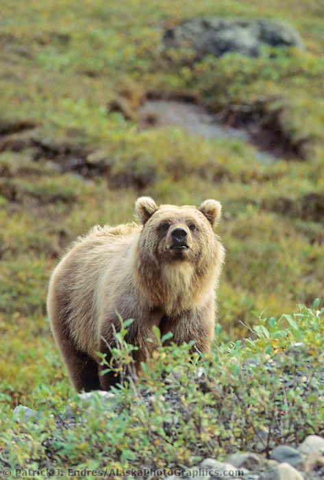 Grizzly bear, Brooks range, Alaska