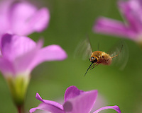 Bee Fly flying in/around perennial Oxalis Wildflowers. These insects rarely stop flying when nectaring, utilizing their extra long proboscis to reach deep within the small flower.