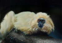 680073002 a captive zoo animal golden lion tamarin leontidius rosalia rosalia sits on a large log in its enclosure in an aaza accredited facility - species is native to a very small range along the southen coast of brazil and is classified as endangered in the wild