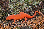 Eastern Red-spotted Newt (Red Eft phase).