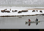 Bison in the Snow, Rangers in Canoe, Gibbon River, Yellowstone National Park, Wyoming