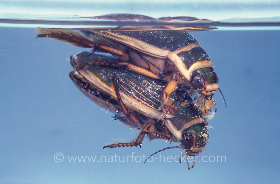 Gelbrandkäfer, Gelbrand-Käfer, Gelbrand, Paar, Pärchen, Paarung, Kopulation, Dytiscus marginalis, great diving beetle, pairing, Schwimmkäfer, Dytiscidae