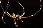Milne Bay, Papua New Guinea; local spider hanging from a thread of silk, Tawali Resort , Copyright © Matthew Meier, matthewmeierphoto.com