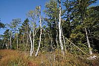 Haspelmoor, Haspel-Moor, mit Birken, Birkenwald, Birkenbruchwald, Birkenmoorwald, Naturschutzgebiet, Bayern, Deutschland