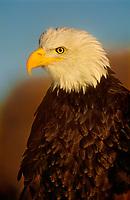 521040016 portrait of a wildlife rescue adult bald eagle hailaeetus leucocephalus in colorado
