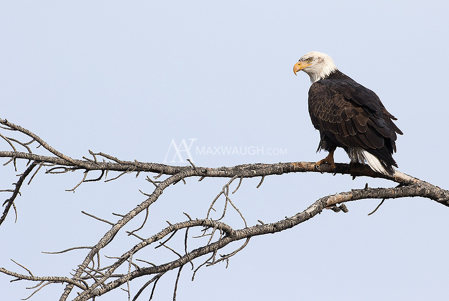 Bald eagles are often seen in Yellowstone in winter.  This one was hunting above the Gardner River.