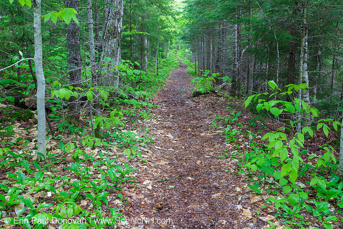 """East Pond Trail in Lincoln, New Hampshire during the spring months. This section of the trail utilizes an old spur line of the Hancock Branch of the East Branch & Lincoln Railroad (1893-1948) in New Hampshire. This spur line was known as """"The Siding"""", and Camp 14 was along it."""