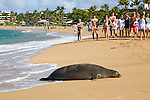 Tourists watch a Hawaiian Monk Seal on the beach at Ka'anapali, Maui.The Hawaiian monk seal, Monachus schauinslandi, is an endangered earless seal that is endemic to the waters off of the Hawaiian Islands