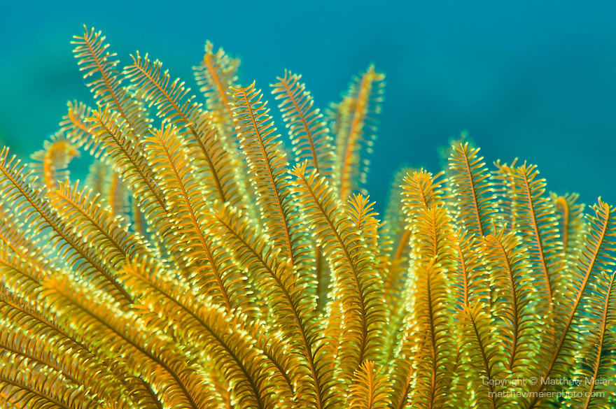 Anilao, Philippines; a yellow feather star against a blue water background