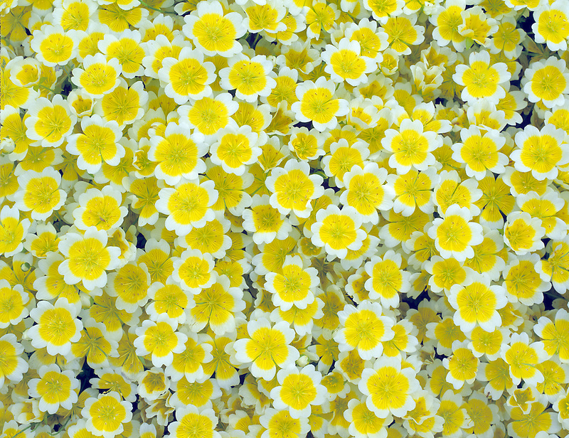 Meadow Foam/Poached Egg. (Limnanthes douglasii) VanDusen Botanical Garden, Vancouver, BC