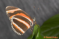 0402-08rr  Banded Orange Heliconian, Dryadula phaetusa, South and Central America © David Kuhn/Dwight Kuhn Photography