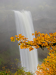 Silver Falls State Park, OR: Big leaf maple (Acer macrophyllum) branch in fall with South Falls in the background