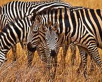 A zebra and young in Tarangire National Park in northern Tanzania