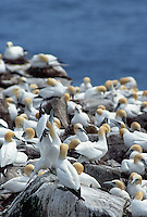 35-B04-GN-130    NORTHERN GANNETS (Sula bassanus) individual displaying in breeding colony, Cape St. Mary's Ecological Reserve, Newfoundland, Canada.