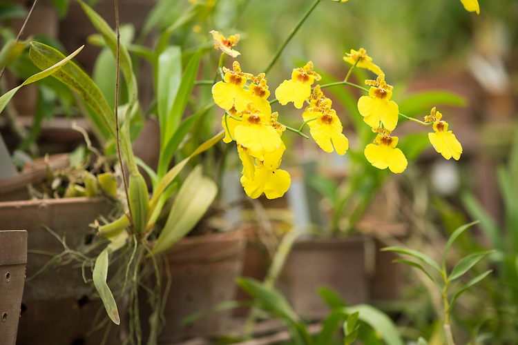 Native orchids grow in the nursery at Xishuangbanna Tropical Botanic Gardens. With over 450 species of local orchids, and with around 50% of them endangered, the work here to propagate and reestablish wild populations is a major effort. This work extends from lab work through to the establishment of medicinal orchids in local plantations, with the aim to reduce the pressure on wild populations.