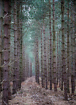 Rows of conifer trees standing in line, Rendlesham Forest, Suffolk, England