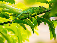 A female Jackson's chameleon on a leafy branch, Hawai'i.