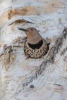 Colaptes auratus<br />
