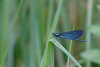 Blauflügel-Prachtlibelle, Blauflügel - Prachtlibelle, Männchen, Calopteryx virgo, bluewing, demoiselle agrion
