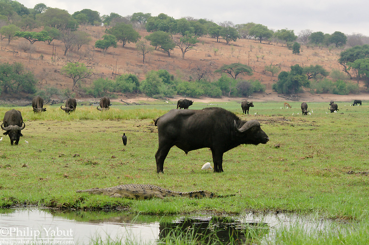 African scene: a herd of buffalo with birds and a crocodile on an island in the Chobe River.<br />