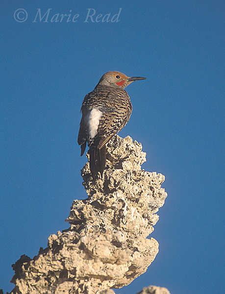 Northern Flicker (Colaptes auratus)male red-shafted form, perched on tufa tower, Mono Lake, California, USA