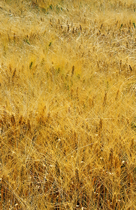 Field of ripe barley