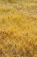 Field of ripe barley