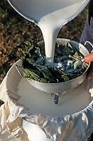 Europe/France/Aquitaine/64/Pyrénées-Atlantiques/Plateau d'Iraty: Jean Patalagoity filtre le lait de brebis à travers des orties au cayolar de Ugatze (AUTORISATION N°63)