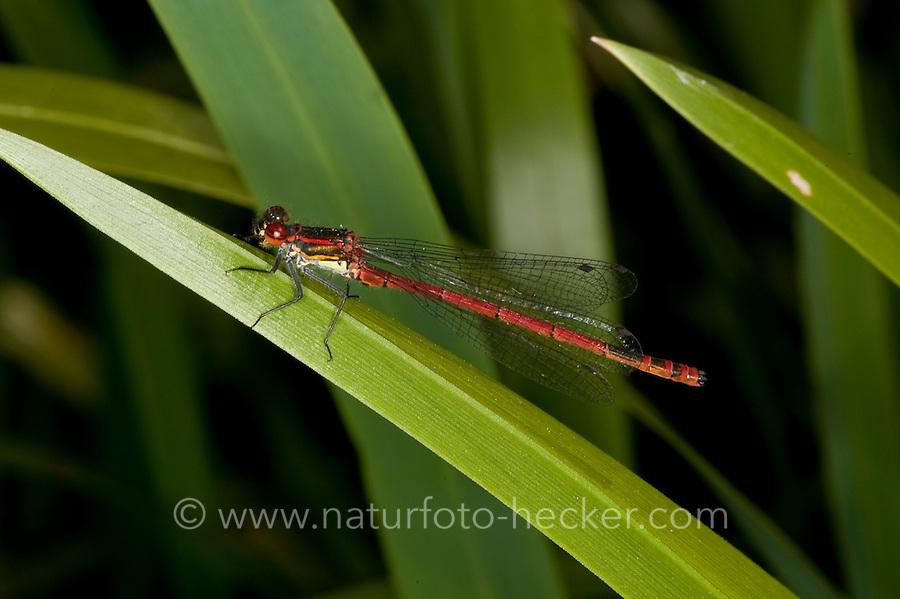 Frühe Adonislibelle, Pyrrhosoma nymphula, Männchen, Large Red Damselfly, La Petite Nymphe au corps de feu