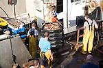 Fishing harbour unloaded fresh catch Bridlington, Yorkshire, England