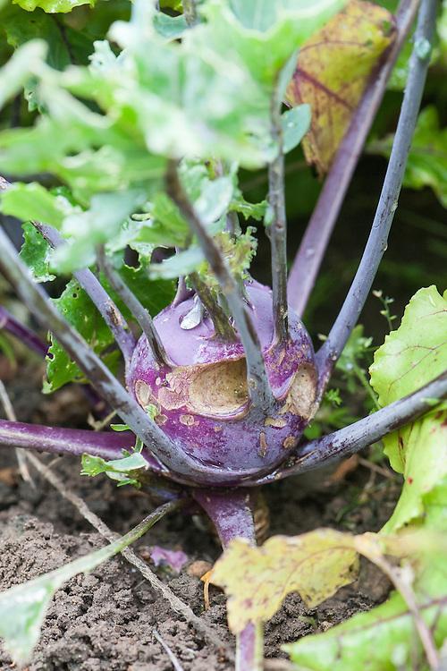 Kohl rabi eaten by slugs, mid August.