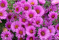 Aster novae-angliae 'Colwall Galaxy' in pink flowering autumn bloom