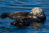 Sea Otter (Enhydra lutris) mom and pup sleeping/resting. California coast.